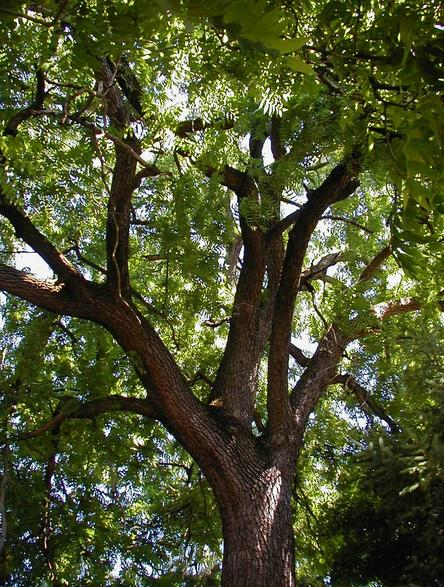 north american black walnut tree