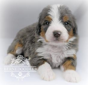 What Colors Do Bernedoodles Come In Utah Bernedoodles