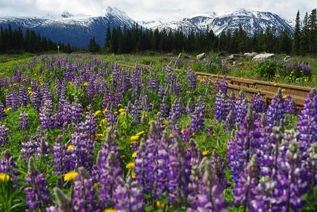 Field of wild arctic lupine, near White Pass, north of Skagway Alaska. Photo by Murray Peters.