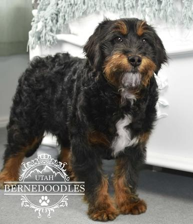 Mini Bernedoodle Adult