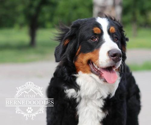 Bernese Mountain Dog lita