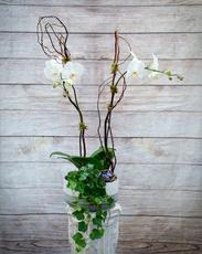 Two Phaleonopsis Orchids, Ivy, Curly Willow, Moss, Specialty container