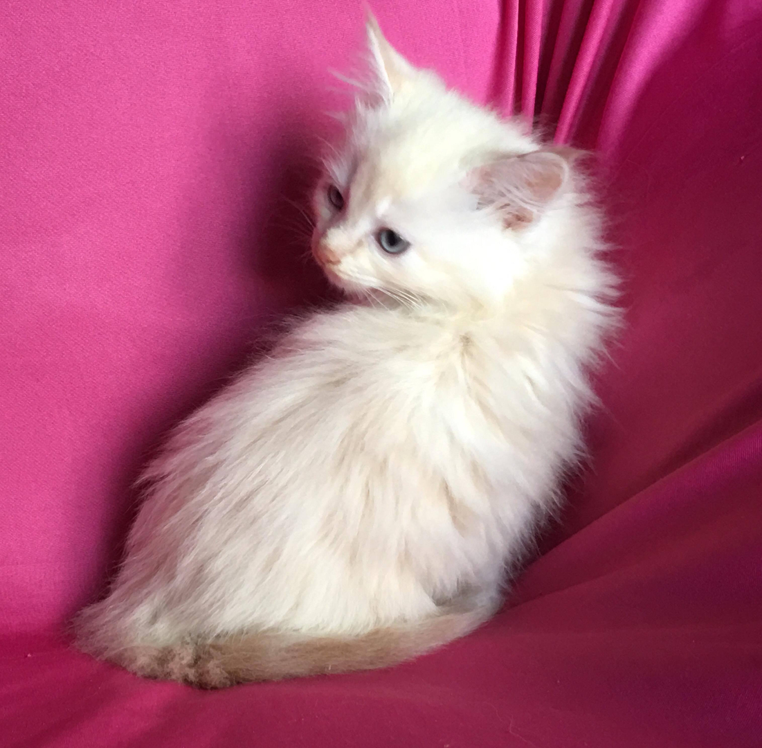 Themadcattery Ragdoll Kittens For Sale