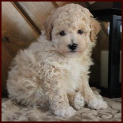 Rolling Meadows Puppies non-shedding hypoallergenic poochon