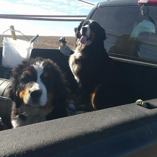 Sable Bernedoodles and Bernese - Utah Bernedoodles