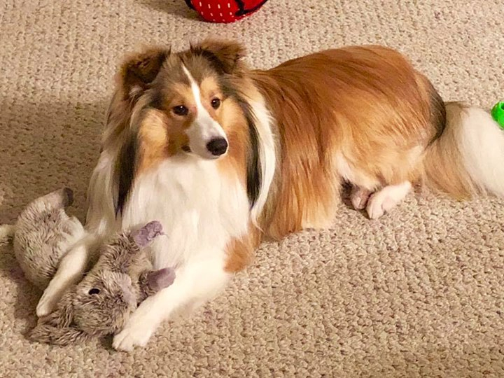 Toy Sheltie Crosses, Poshies, Pomeranian Sheltie, Australian