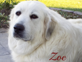 Zoe Wells Providence Great Pyrenees