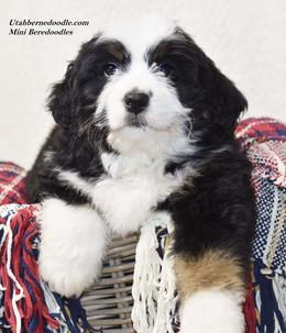 Tri color Bernedoodle