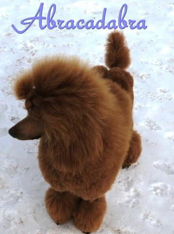 Palmares Red Standard Poodles - Red Standard Poodles,Full