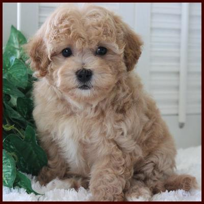Poochon puppy for sale at Rolling Meadows Puppies