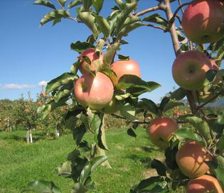 Pick-Your-Own Dickie Bros Orchard HoneyCrisp Apples August 17th & 18th