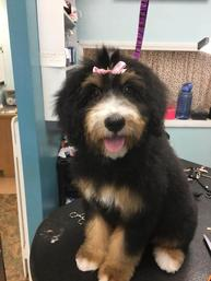 Tri-color-Bernedoodle