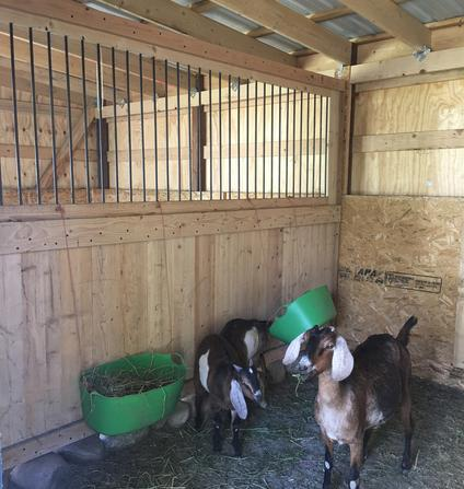 Goat barn with stall dividers