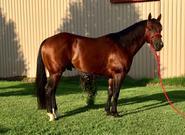 brow duals horse horses