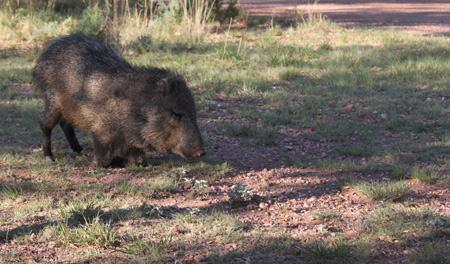 Javelina near Lindy's Fine Art studio in the Davis Mts of Far West Texas