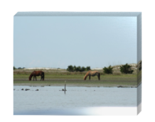 Photographs of the NC wild horses, Beaufort NC, Shackleford Banks