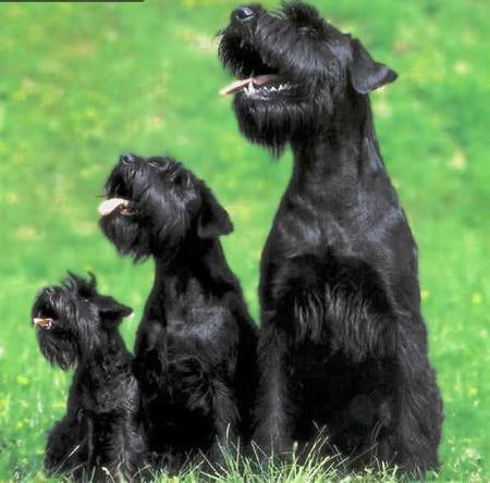 What Size Can Miniature Schnauzers Be