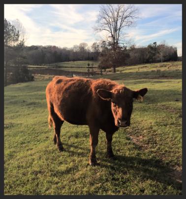 Cow Co-op | Ole timey meats