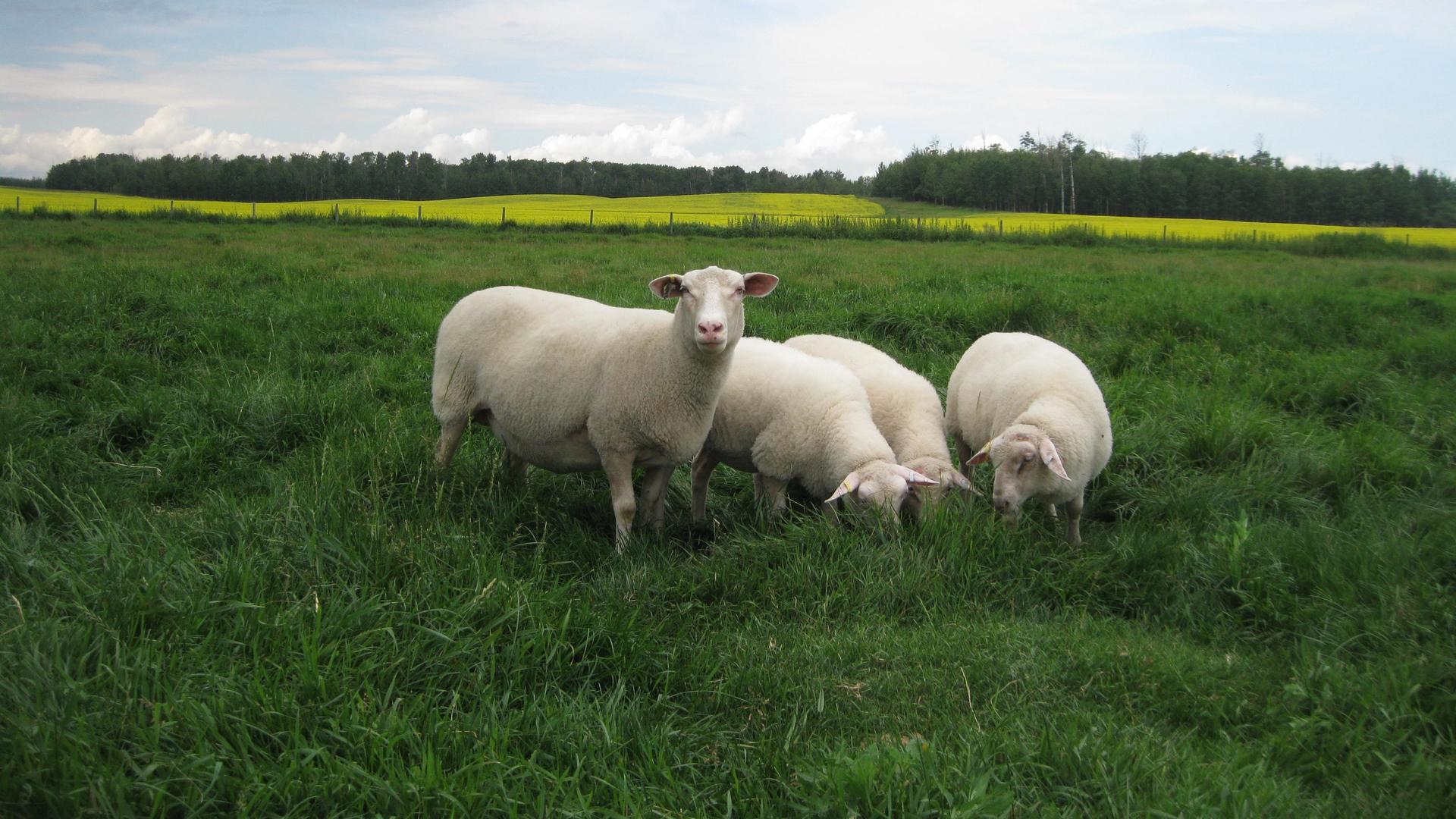 Canadian Sheep Breeders Association Online