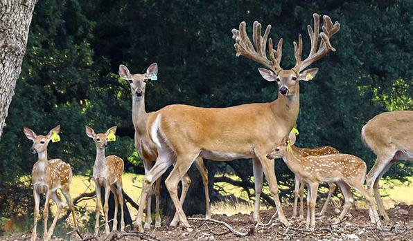 5F Ranch Whitetail Deer Breeding