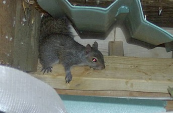 squirrel removal louisville