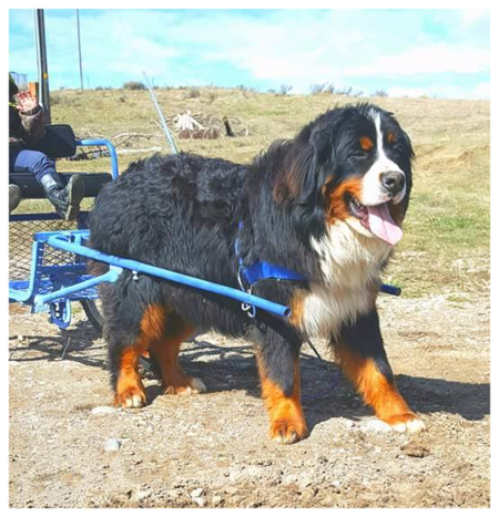 Big Bernese Mountain Dog