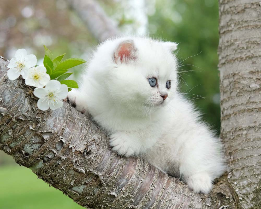 Silvertales Cattery - British Shorthair, Kittens for Sale