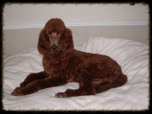 Danaspamperedpoodles com - Red Standard Poodles, Dark red