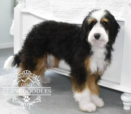 Flashy-Tricolor-Adult-MIni-Bernedoodle