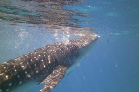 Whale Shark pic from Madison WI scuba instructor Don Johnson