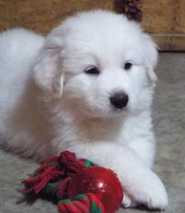 Wells Providence Great Pyrenees