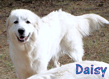 Daisy Wells Providence Great Pyrenees