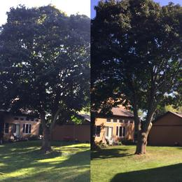 B&A Maple Tree Trimming, Grimsby Tree Services, Residential Tree Trimming