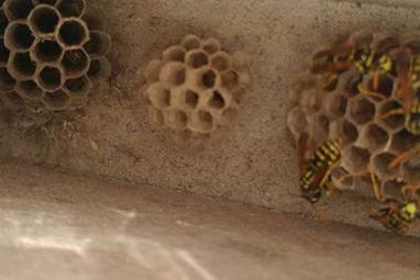 Paper wasp control