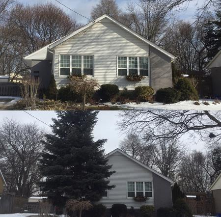 B&A Hazardous Tree Removal Burlington, Private Tree By-law Permit Tree, Blue spruce removal