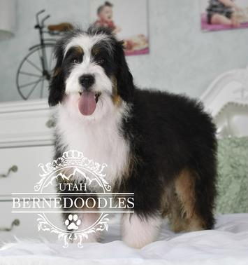 Traditional-Tricolor-Mini-Bernedoodle