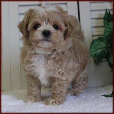 Rolling Meadows Puppies Available Puppies