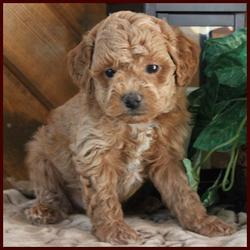 Rosetta's Rolling Meadows Puppies Red Poochon Male