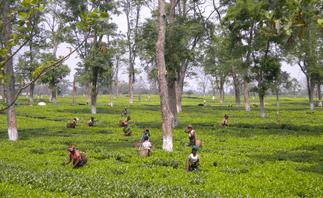 Tea Tour in India