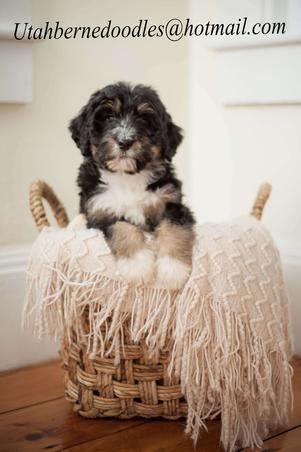 Tri-color-Bernedoodle-from-Utah-Bernedoodles