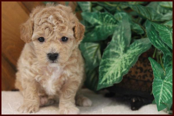 apricot poochon puppy for sale near me