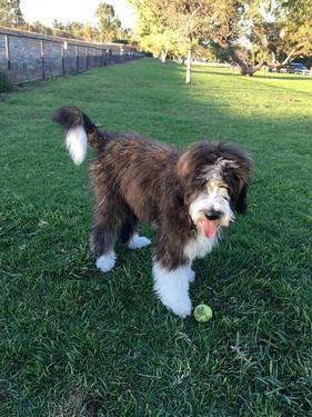 Brindle Bernedoodle Puppy