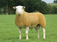 The British Berrichon Sheep Society - Berrichon Sales