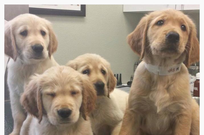 Puppy Adoption Golden Retriever Bones Retrievers Wesley Chapel Fl
