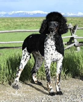 Standard Poodle Jack Utah Bernedoodles