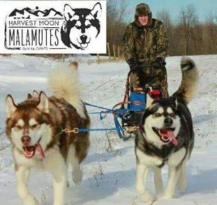 Harvest Moon Malamutes Breeder Malamute Puppies