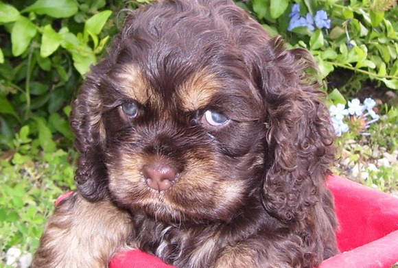 Cocker Spaniels And Standard Poodles For Show Or Pet
