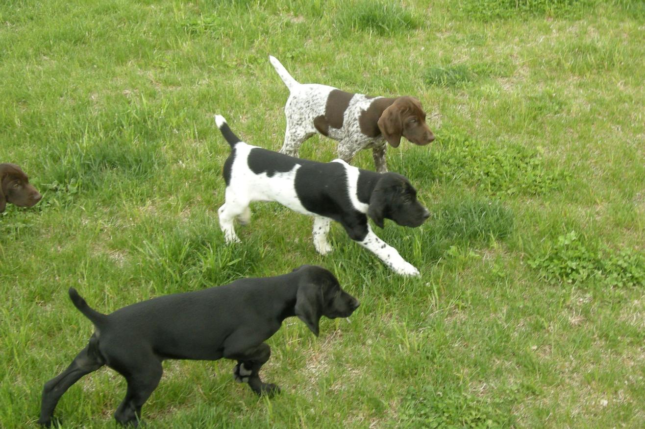 Puppies For Sale German Shorthaired Pointer Puppies For Sale