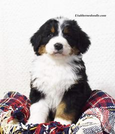 Bernedoodle-Puppy-tri-color