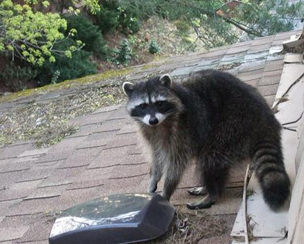raccoon removal kentucky
